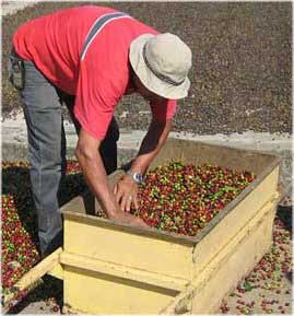Sorting Fresh Coffee Berries©