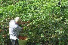 Coffee Harvest on the Farm©